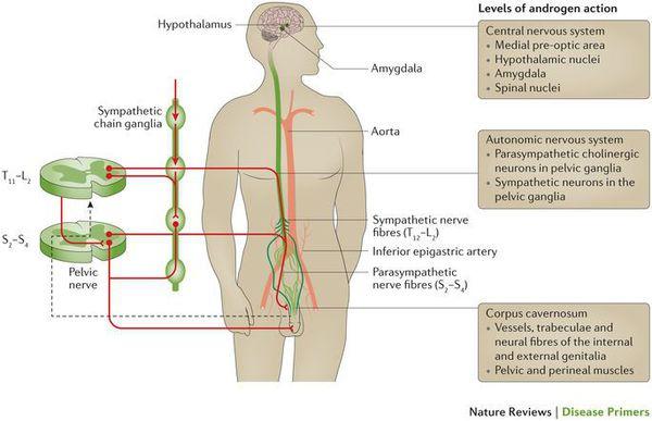 патогенез эректильной дисфункции