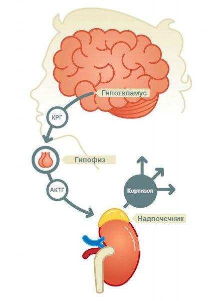 Гипоталамо-гипофизарно-надпочечниковая система