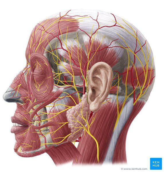 Поверхностные нервы головы