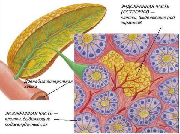 Эндокринная и экзокринная части поджелудочной железы
