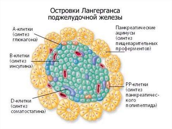 Эндокринные клетки островков Лангерганса