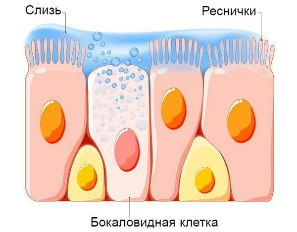 Бокаловидные клетки