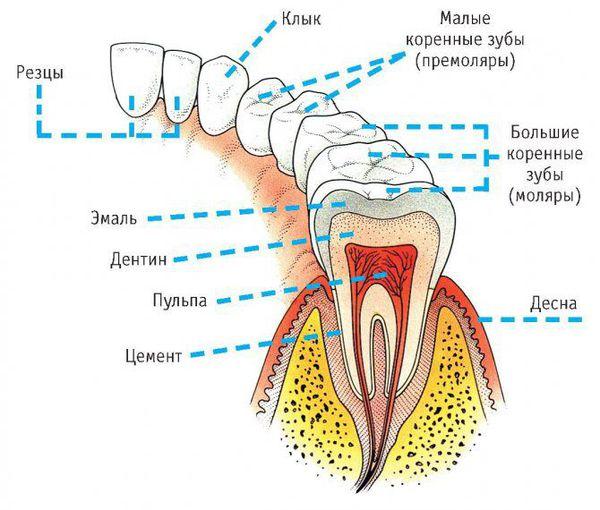 Расположение больших и малых коренных зубов