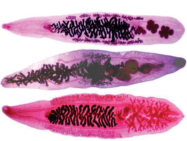 Плоские паразитические черви рода описторхов