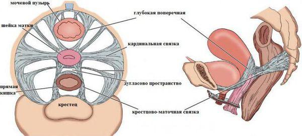 Анатомия тазового дна женщины. Расположение связок.