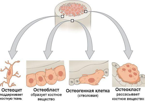 Типы клеток костной ткани