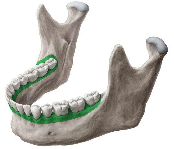 Альвеолярный отросток и дуга нижней челюсти