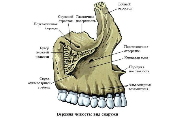 Верхняя челюсть: вид снаружи