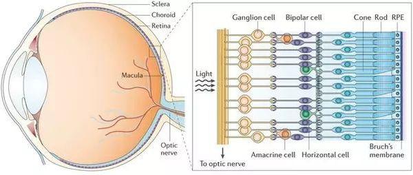 Слои сетчатки глаза и их строение