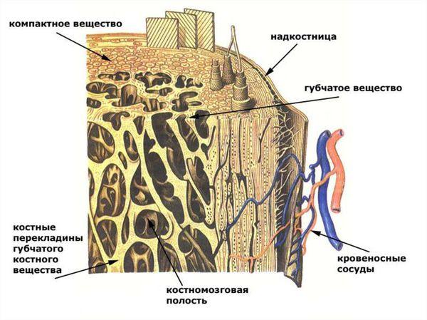 Анатомия среза челюстной кости