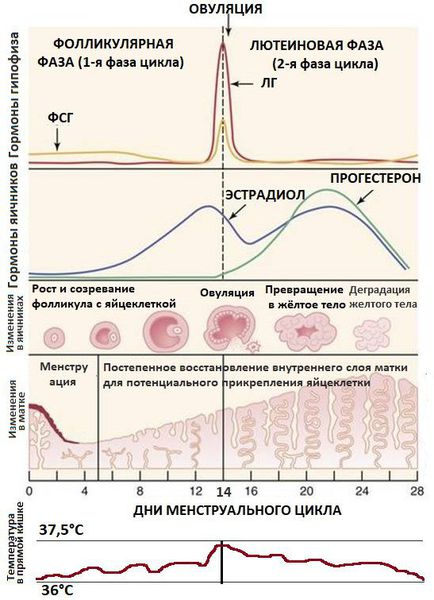Гормональная регуляция менструального цикла и её влияние на организм