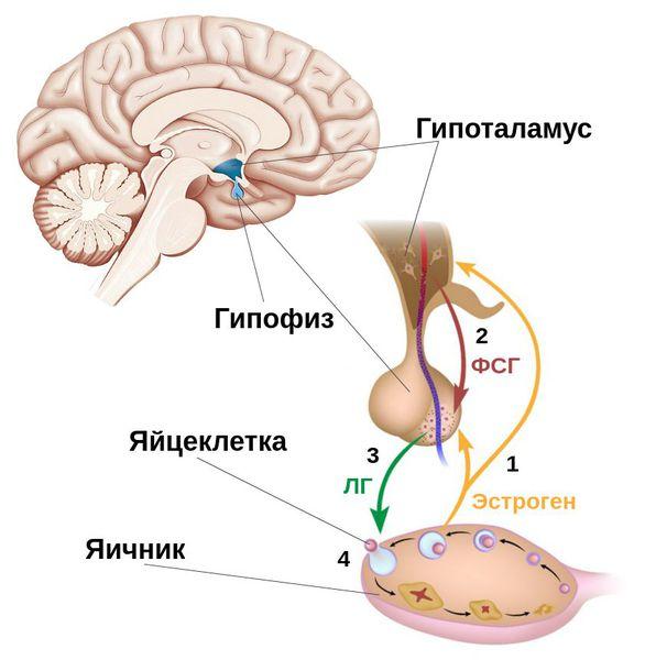 Выработка ФСГ и ЛГ гипофизом и их связь с овуляцией