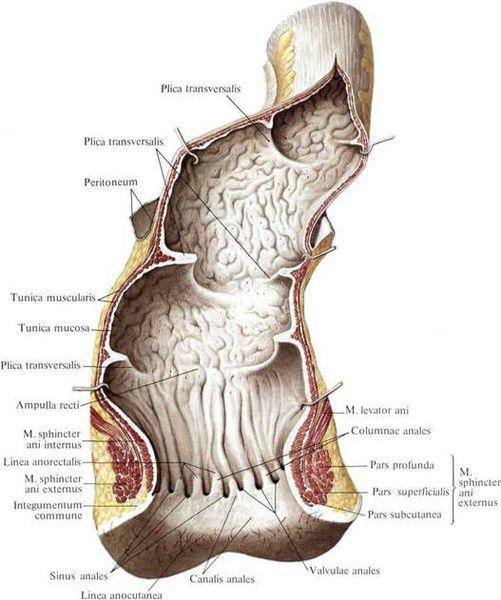 Анатомия анального канала