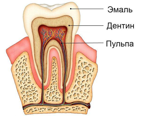 Строение зуба: эмаль, дентин и пульпа
