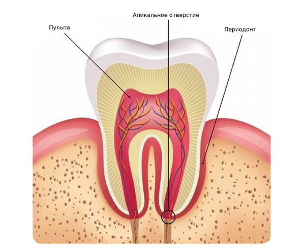 Строение зуба: пульпа, апикальное отверстие, периодонт