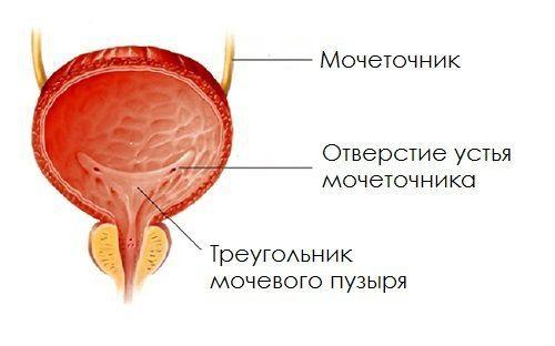 Расположение мочепузырного треугольника
