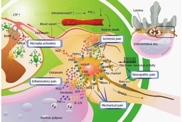 Компенсаторные механизмы при сдавлении нервного корешка