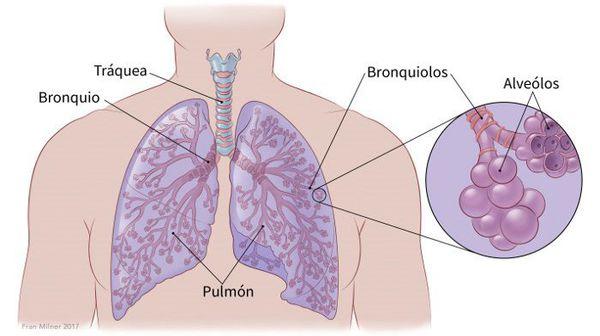 Строение лёгких