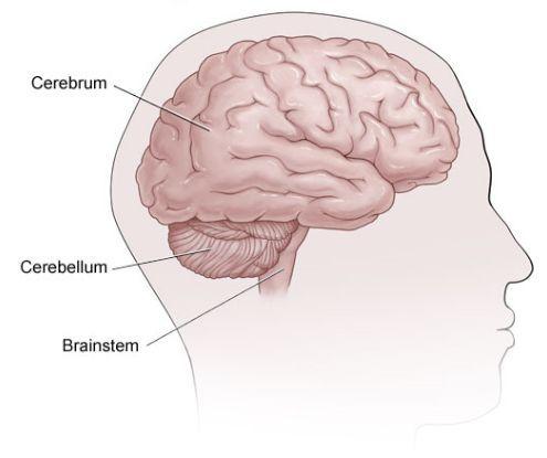 Головной мозг, мозжечок и мозговой ствол