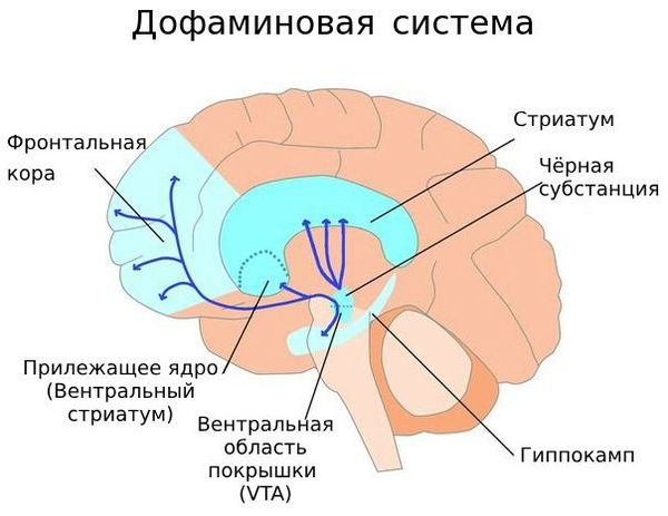 Пути движения дофамина в головном мозге