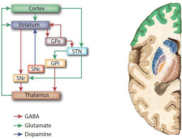 Связь коры головного мозга с базальными ганглиями