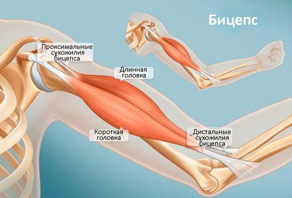 Бицепс (двуглавая мышца плеча)