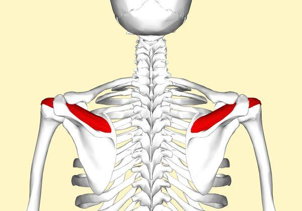 Надостные мышцы
