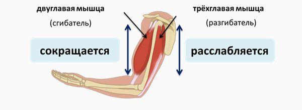 Сгибатель и разгибатель плеча