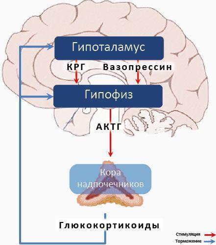 Гипотоламо-гипофизарная ось