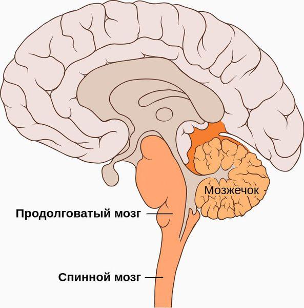Продолговатый и спинной мозг
