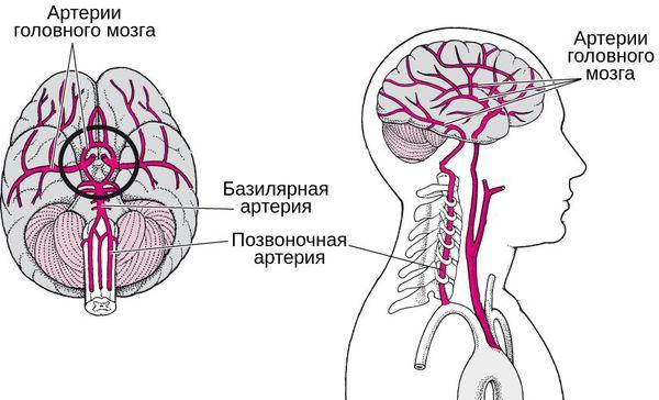 Вертебробазилярная система: позвоночная и базилярная артерия, снабжающие мозг кровью