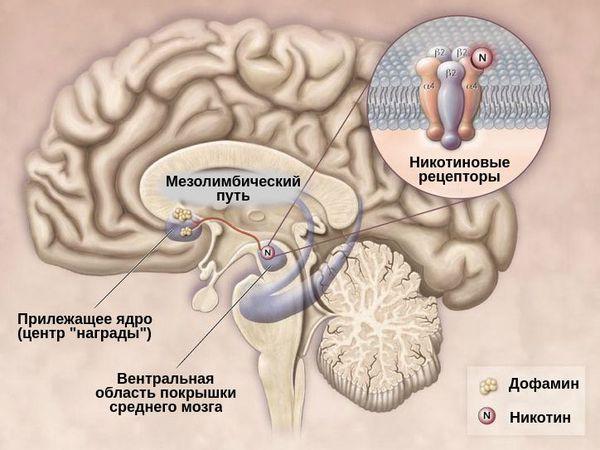 Никотиновые и дофаминовые рецепторы