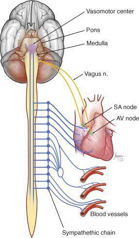 Связь симпатической и вегетативной нервной системы с проводящей системой миокарда