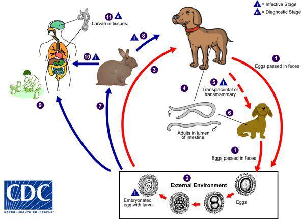 Источники заражения токсокарозом