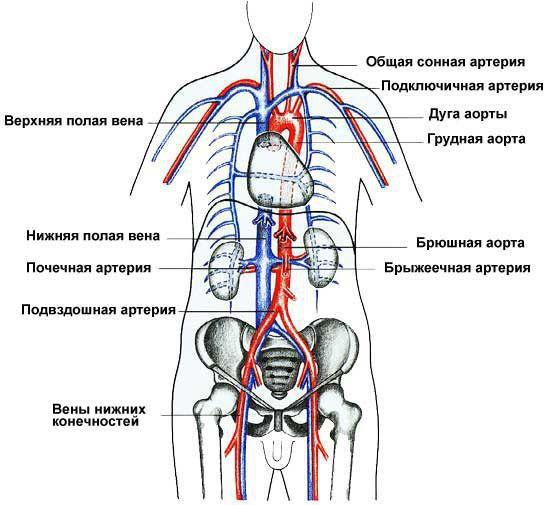 Расположение верхней и нижней полой вены
