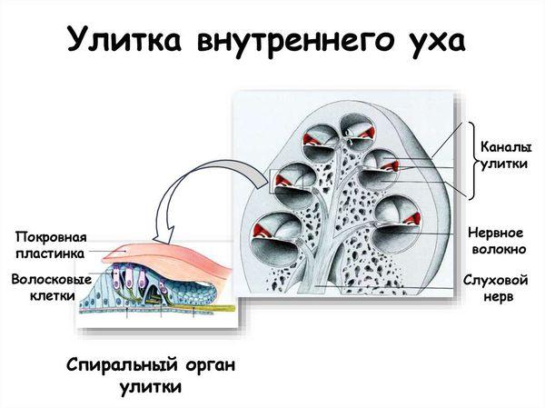 Улитка внутреннего уха: расположение волосковых клеток улитки и волокон слухового нерва