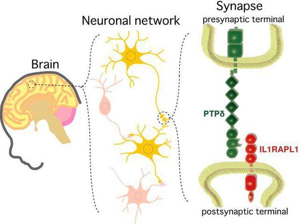 Работа нейронов