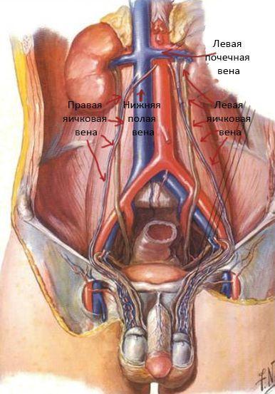 Кровоснабжение мочеполовой системы