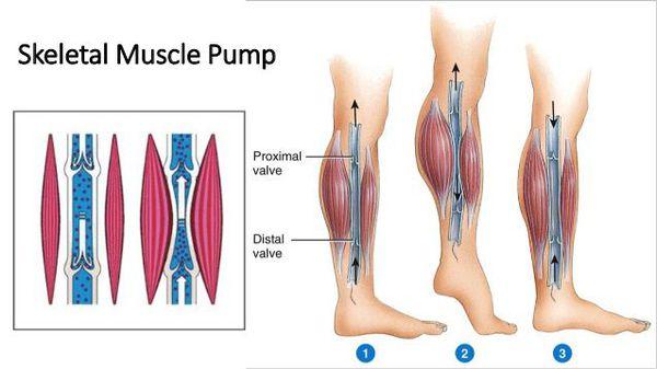 Мышечно-венозная помпа нижних конечностей