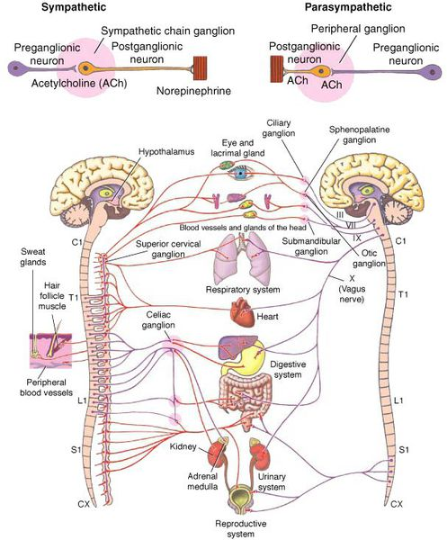 Симпатическая и парасимпатическая нервная система