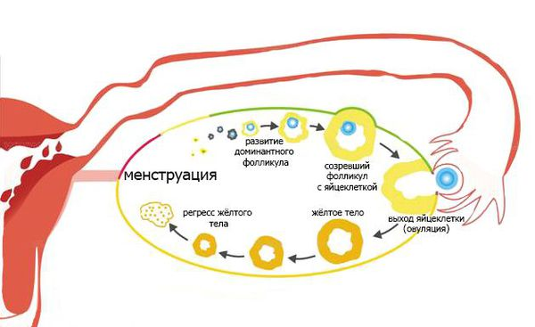 Циклические изменения в яичниках