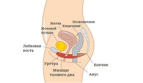 Расположение матки
