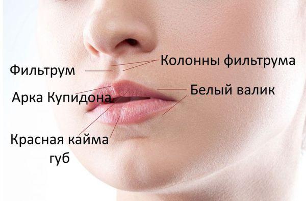 Структурные элементы губ