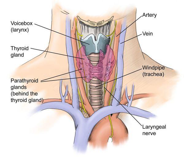 Расположение возвратного гортанного нерва